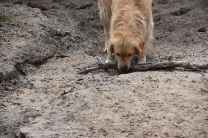 Oscar-Golden Retriever-Banksia Park Puppies - 10 of 41