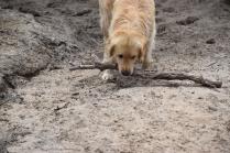 Oscar-Golden Retriever-Banksia Park Puppies - 11 of 41