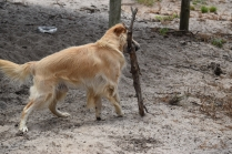 Oscar-Golden Retriever-Banksia Park Puppies - 14 of 41