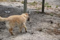 Oscar-Golden Retriever-Banksia Park Puppies - 16 of 41