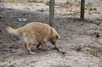 Oscar-Golden Retriever-Banksia Park Puppies - 17 of 41