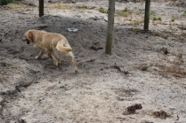 Oscar-Golden Retriever-Banksia Park Puppies - 18 of 41
