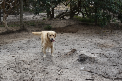 Oscar-Golden Retriever-Banksia Park Puppies - 19 of 41
