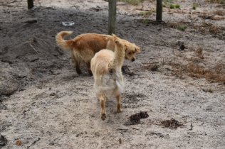 Oscar-Golden Retriever-Banksia Park Puppies - 20 of 41