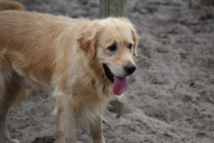 Oscar-Golden Retriever-Banksia Park Puppies - 22 of 41