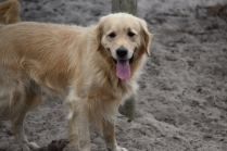 Oscar-Golden Retriever-Banksia Park Puppies - 23 of 41