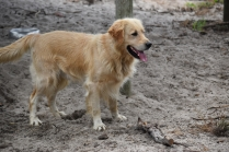 Oscar-Golden Retriever-Banksia Park Puppies - 25 of 41