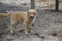 Oscar-Golden Retriever-Banksia Park Puppies - 26 of 41
