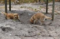 Oscar-Golden Retriever-Banksia Park Puppies - 3 of 41