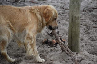 Oscar-Golden Retriever-Banksia Park Puppies - 32 of 41