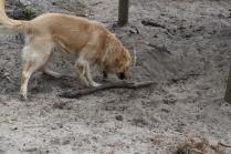 Oscar-Golden Retriever-Banksia Park Puppies - 34 of 41
