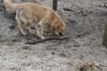 Oscar-Golden Retriever-Banksia Park Puppies - 35 of 41