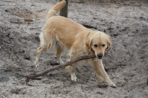 Oscar-Golden Retriever-Banksia Park Puppies - 36 of 41