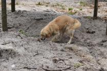 Oscar-Golden Retriever-Banksia Park Puppies - 4 of 41