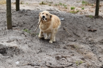 Oscar-Golden Retriever-Banksia Park Puppies - 5 of 41