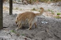Oscar-Golden Retriever-Banksia Park Puppies - 6 of 41