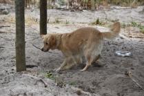 Oscar-Golden Retriever-Banksia Park Puppies - 7 of 41