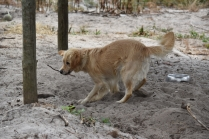 Oscar-Golden Retriever-Banksia Park Puppies - 7 of 41