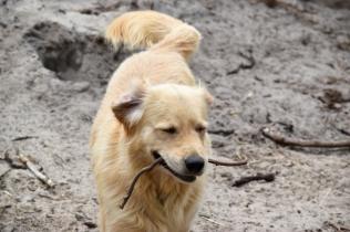 Oscar-Golden Retriever-Banksia Park Puppies - 9 of 41