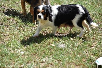 Petunia-Cavalier-Banksia Park Puppies - 1 of 34