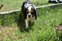 Petunia-Cavalier-Banksia Park Puppies - 10 of 34