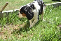 Petunia-Cavalier-Banksia Park Puppies - 11 of 34