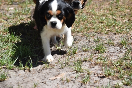 Petunia-Cavalier-Banksia Park Puppies - 12 of 34