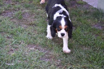 Petunia-Cavalier-Banksia Park Puppies - 13 of 34