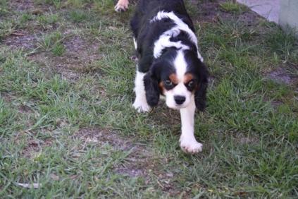 Petunia-Cavalier-Banksia Park Puppies - 13 of 34