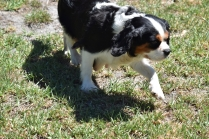 Petunia-Cavalier-Banksia Park Puppies - 14 of 34