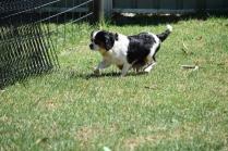 Petunia-Cavalier-Banksia Park Puppies - 15 of 34