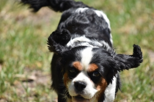 Petunia-Cavalier-Banksia Park Puppies - 17 of 34