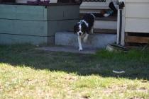 Petunia-Cavalier-Banksia Park Puppies - 18 of 34