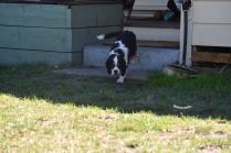 Petunia-Cavalier-Banksia Park Puppies - 19 of 34