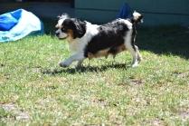Petunia-Cavalier-Banksia Park Puppies - 20 of 34