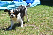 Petunia-Cavalier-Banksia Park Puppies - 21 of 34