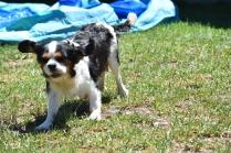 Petunia-Cavalier-Banksia Park Puppies - 21 of 34