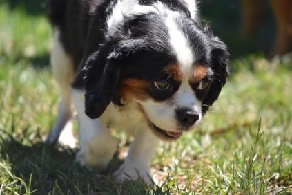 Petunia-Cavalier-Banksia Park Puppies - 23 of 34