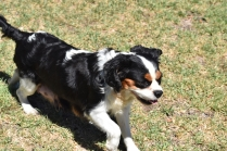 Petunia-Cavalier-Banksia Park Puppies - 25 of 34