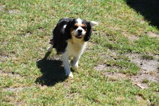 Petunia-Cavalier-Banksia Park Puppies - 27 of 34