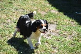 Petunia-Cavalier-Banksia Park Puppies - 29 of 34