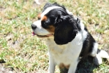 Petunia-Cavalier-Banksia Park Puppies - 31 of 34