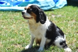 Petunia-Cavalier-Banksia Park Puppies - 33 of 34