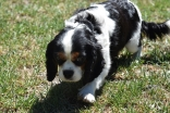 Petunia-Cavalier-Banksia Park Puppies - 34 of 34