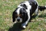 Petunia-Cavalier-Banksia Park Puppies - 34 of 34