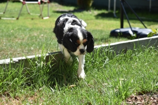 Petunia-Cavalier-Banksia Park Puppies - 6 of 34