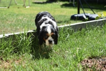 Petunia-Cavalier-Banksia Park Puppies - 7 of 34