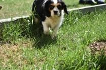 Petunia-Cavalier-Banksia Park Puppies - 9 of 34