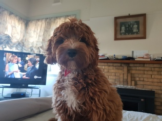 Here is photos of our Boy Ollie he is about 6 1/2 months old, Cavoodle from Banksia Park. We love him lots and he is very Cute ! Ps He is one of the Bigger Boy Cavoodles he weighs 9.5KG.😊🐶🐶🐶 His Instagram page is: https://instagram.com/ollie.cavoodle.goldenboy?utm_source=ig_profile_share&igshid=psy8aho2ckuk