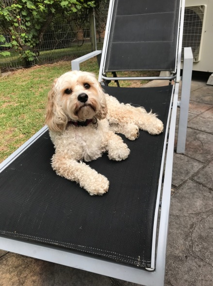 This is Evie our two year old Cavoodle enjoying her summer holiday. Parents - Hilary and Simon born 9/9/16